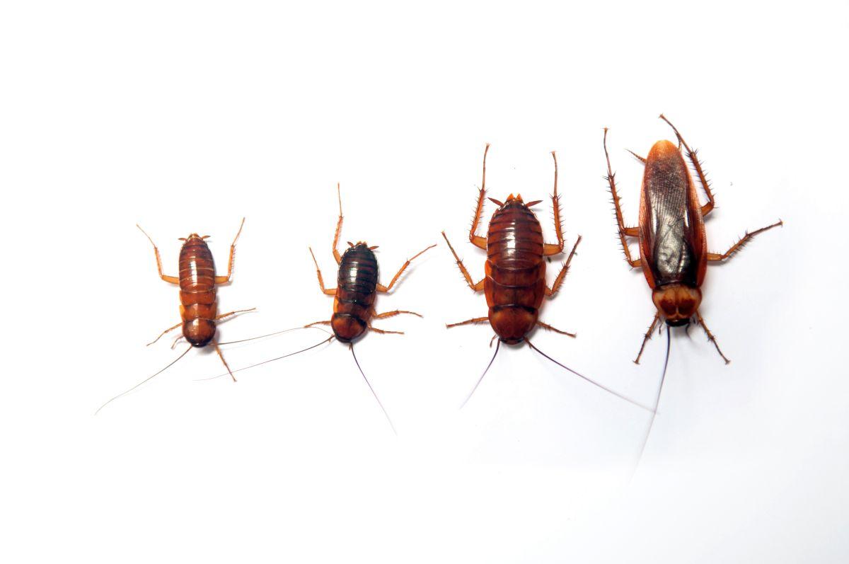 Les différents carfards et blattes