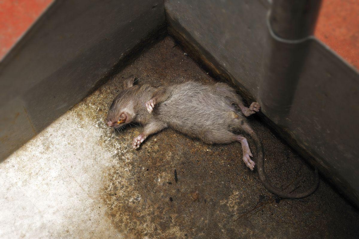 Un rat mort